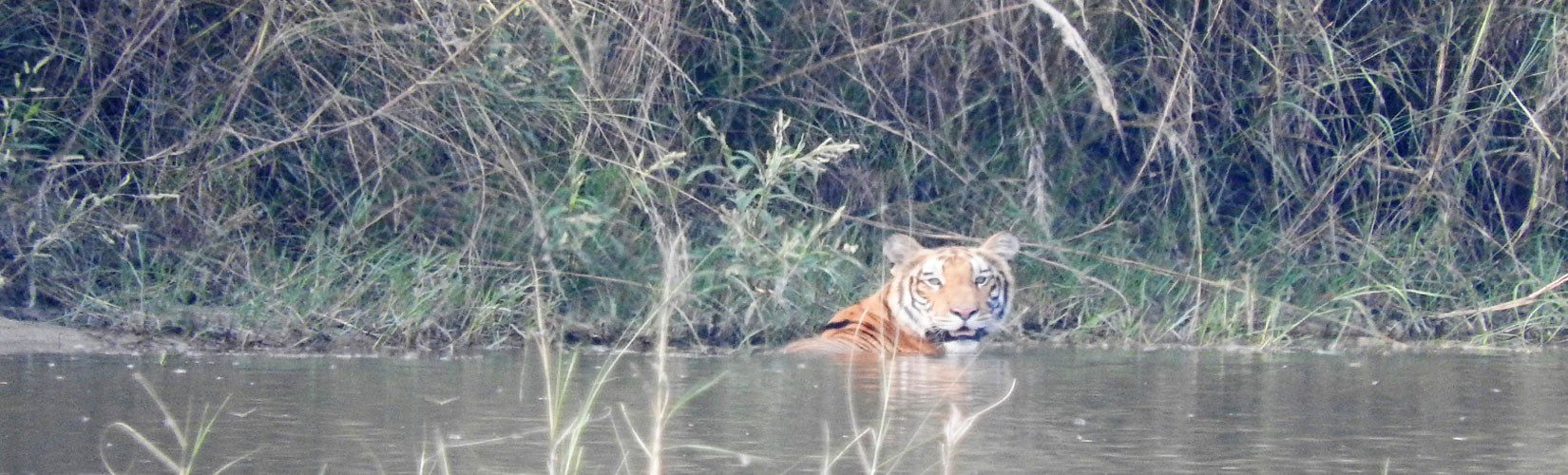 Royal Bengal Tiger in Bardiya nation park